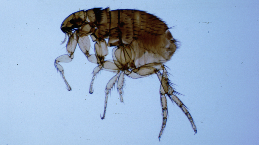 picture of an adult flea