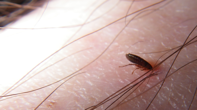 Can fleas survive and reproduce on human blood?