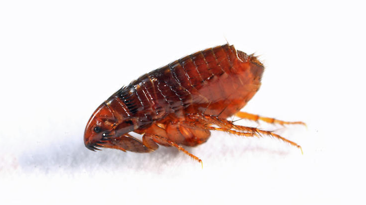adult cat flea with no wings