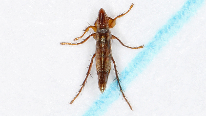 compressed flea body