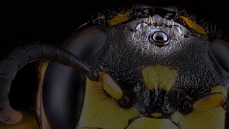 adult cat flea eyes resemble ocelli