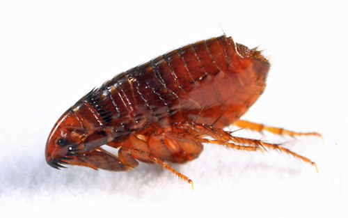 Are fleas attracted to light?
