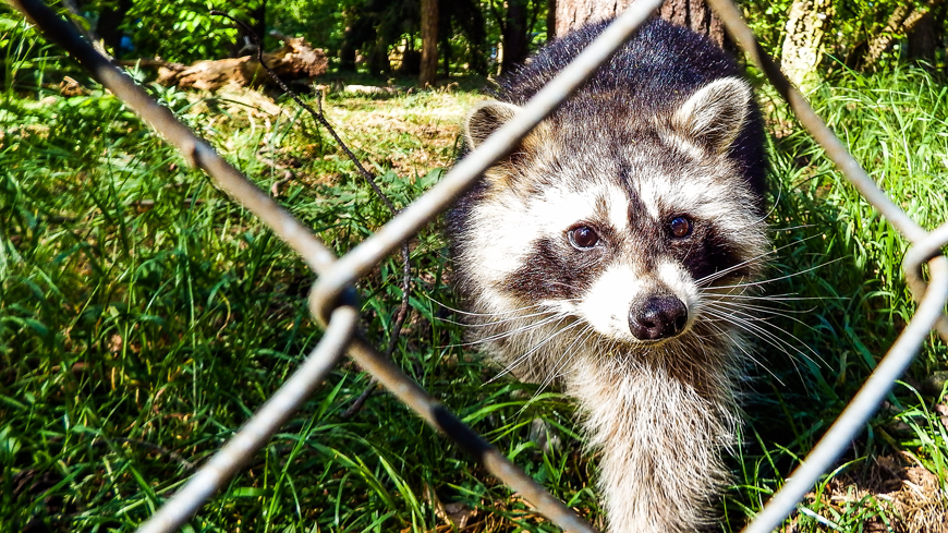 racoons can transfer fleas among neighborhoods