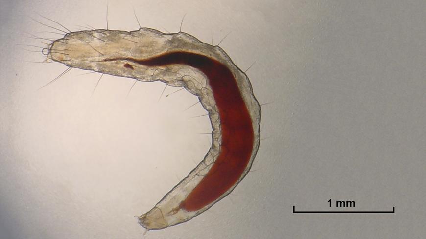 What do flea larvae look like? | FleaScience