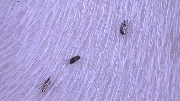 Do fleas crawl and climb?   FleaScience
